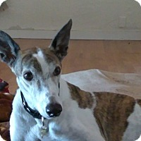Adopt A Pet :: CoCo - Cottonwood, AZ