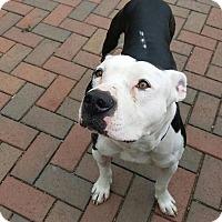 Adopt A Pet :: Bowie - Chicago, IL