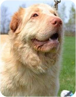 Golden Retriever/Shar Pei Mix Dog for adoption in Newport, Vermont - Blondie Too
