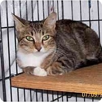 Domestic Shorthair Cat for adoption in Garland, Texas - Faithie