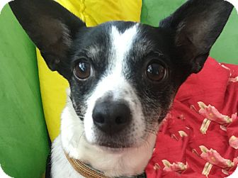 Rat Terrier/Toy Fox Terrier Mix Dog for adoption in San Francisco, California - Cooper