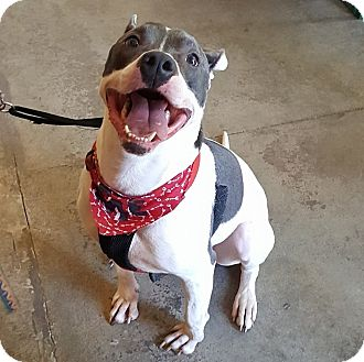 Pit Bull Terrier Mix Dog for adoption in Troutville, Virginia - Harley