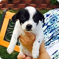 Adopt A Pet :: Bandit - Beavercreek, OH
