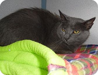 Domestic Shorthair Cat for adoption in Waupaca, Wisconsin - Zoey