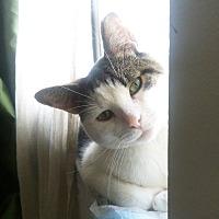 Adopt A Pet :: Cuddly Goofball BOOBOO - New York, NY