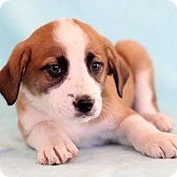 Adopt A Pet :: Uri - Waldorf, MD