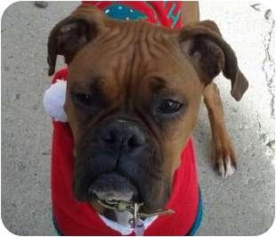 Boxer Dog for adoption in Reno, Nevada - Tinsel