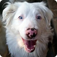 Adopt A Pet :: ANNIE OAKLEY - DEAF-pending - Post Falls, ID