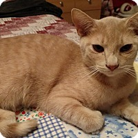 Domestic Shorthair Kitten for adoption in Maryville, Tennessee - Yoda