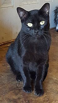 Domestic Shorthair Cat for adoption in Rockford, Illinois - Tara
