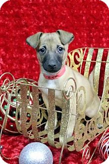 Dachshund Mix Puppy for adoption in Westminster, Colorado - BOINGO