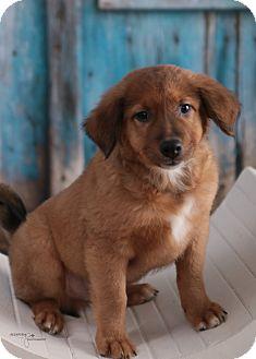 Collie/Shepherd (Unknown Type) Mix Puppy for adoption in Brattleboro, Vermont - MJ