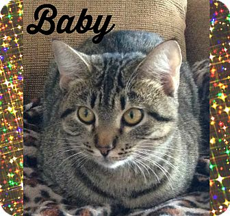Domestic Shorthair Cat for adoption in Bentonville, Arkansas - Baby