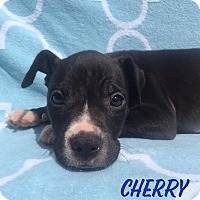 Adopt A Pet :: Cherry - Toledo, OH