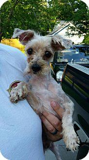Yorkie, Yorkshire Terrier Dog for adoption in Mount Pleasant, South Carolina - Loki