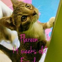 Adopt A Pet :: Flareon - Albany, GA