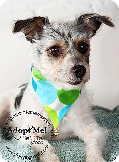 Jack Russell Terrier/Yorkie, Yorkshire Terrier Mix Dog for adoption in Omaha, Nebraska - Bentley