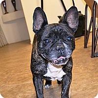 Adopt A Pet :: Frenchi - Phoenix, AZ