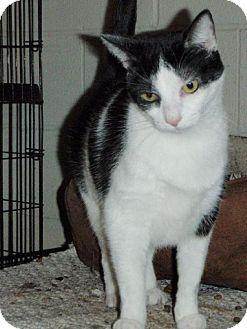 Domestic Shorthair Cat for adoption in Columbus, Ohio - Misty