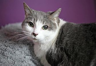 Domestic Shorthair Cat for adoption in Fairfax Station, Virginia - Misty 1