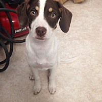 Terrier (Unknown Type, Medium)/Australian Shepherd Mix Dog for adoption in Baton Rouge, Louisiana - Cuba