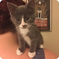 Adopt A Pet :: Jammer & Cherry- Littermates! - Arlington, VA