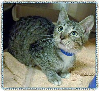 Domestic Shorthair Kitten for adoption in Marietta, Georgia - LUKE