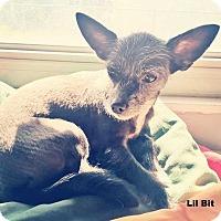 Adopt A Pet :: LilBit - Lighthouse Point, FL