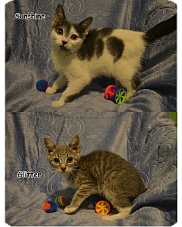 Domestic Shorthair Kitten for adoption in Oyster Bay, New York - Sunshine and Glitter