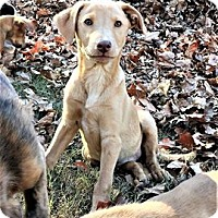 Adopt A Pet :: Amber - North Brunswick, NJ