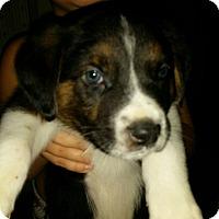 Adopt A Pet :: Potter - Manassas, VA