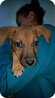 Pointer/Labrador Retriever Mix Puppy for adoption in Pompton Lakes, New Jersey - Liz litter