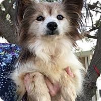 Adopt A Pet :: Buzzy - Temecula, CA