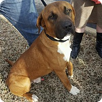 Boxer Mix Dog for adoption in Glastonbury, Connecticut - Bennie~adopted!