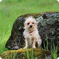Adopt A Pet :: Tinkerbell - Auburn, CA
