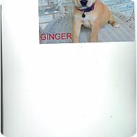Adopt A Pet :: Ginger - Cottonport, LA