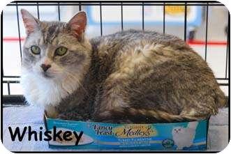 Domestic Shorthair Cat for adoption in Merrifield, Virginia - Wisky