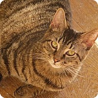 Domestic Shorthair Cat for adoption in Richmond, Virginia - Mario