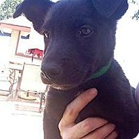 Adopt A Pet :: DUKE - Inglewood, CA