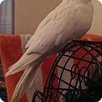 Adopt A Pet :: Cody - Lenexa, KS