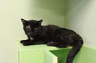 Domestic Shorthair Cat for adoption in Indianapolis, Indiana - Vivi