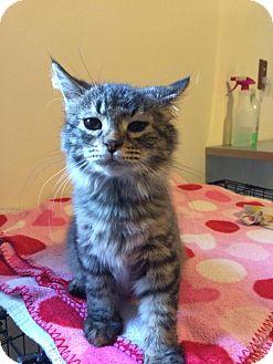 Domestic Mediumhair Kitten for adoption in Salem, Ohio - hazel