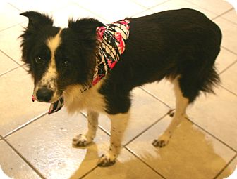 Border Collie Mix Dog for adoption in Pilot Point, Texas - Brandi
