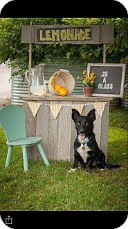 Corgi/Border Collie Mix Dog for adoption in Whitby, Ontario - Shorty