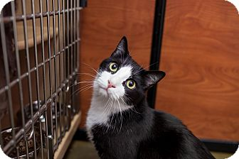 Domestic Shorthair Cat for adoption in Statesville, North Carolina - Jack