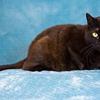 Domestic Shorthair Cat for adoption in Birdsboro, Pennsylvania - Debbie