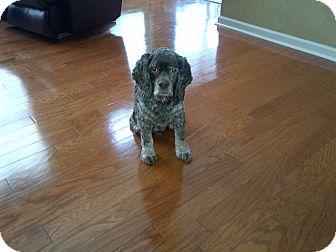 Cocker Spaniel Dog for adoption in Kannapolis, North Carolina - Bailey  -Urgent, Courtesy Post