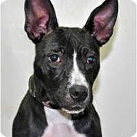 Adopt A Pet :: Holly - Port Washington, NY
