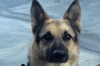 German Shepherd Dog Dog for adoption in Newport Beach, California - Beecher
