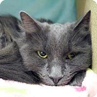 Domestic Mediumhair Cat for adoption in Bellevue, Washington - Tilly